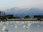 立山、白鳥画像 019.jpg